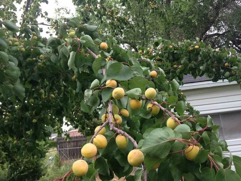 A bumper crop of apricots.